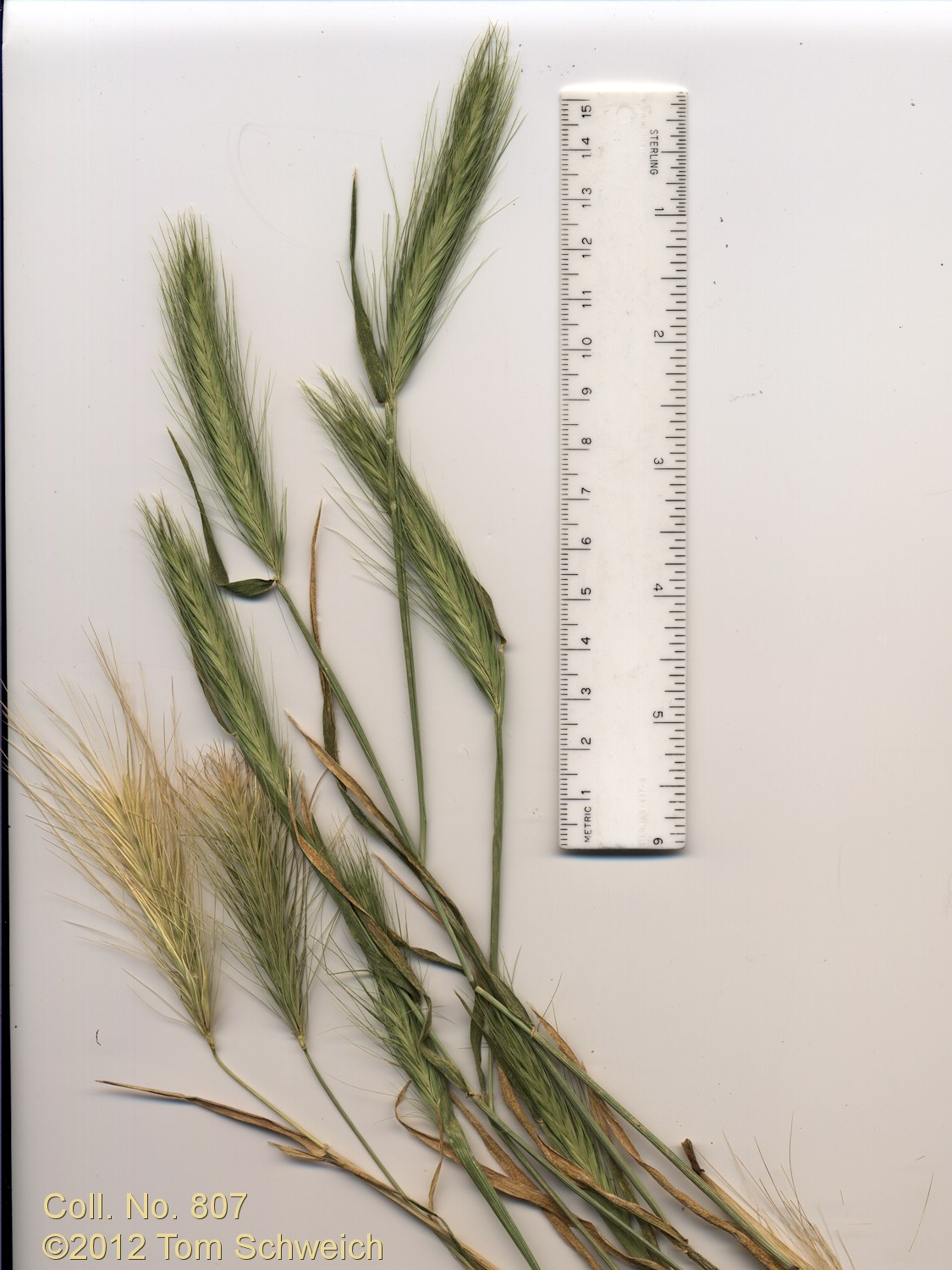 Poaceae Hordeum brachyantherum brachyantherum